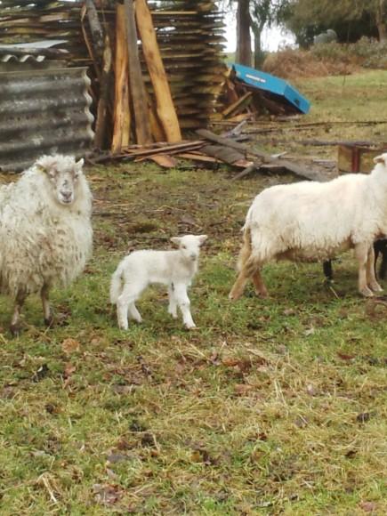 Avec sa maman dans son pâturage d'hiver