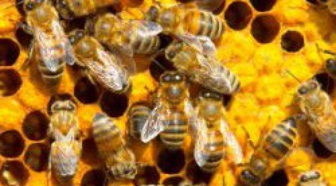 Calamité apicole