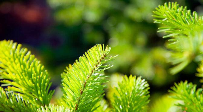 Du 2 au 10 Janvier | Points de collecte de sapins de Noël | Cléguérec